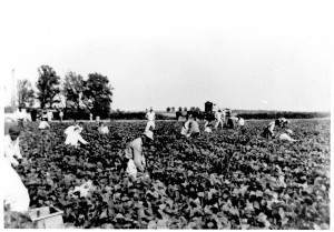 Inmates picking cotton at Cummins prison, 1960s